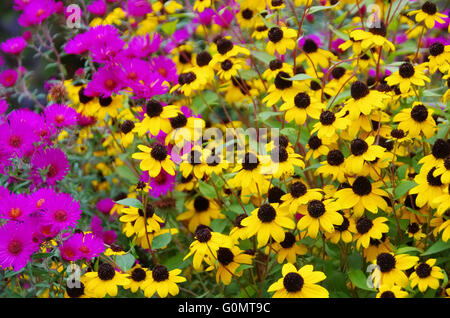 Sonnenhut und Astern - black-eyed Susan and aster 01 - Stock Photo