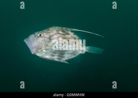 John Dory, also known as St Peter's fish. scientific name : Zeus faber ,Linnaeus, 1758. at fishreef Owase Mie Japan. - Stock Photo