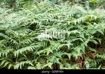Common bracken (Pteridium aquilinum) - Stock Photo