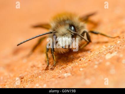 Red mason bee (Osmia bicornis) on a brick wall - Stock Photo