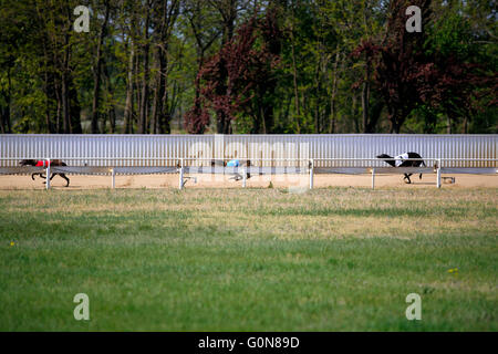 Running racing greyhound dogs on racing track - Stock Photo