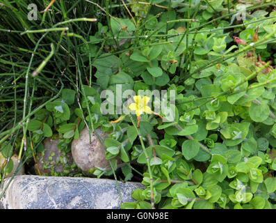 Creeping Jenny (Lysimachia nummularia) with single flower and horsetail (Equisetum) next to pebbles and rock