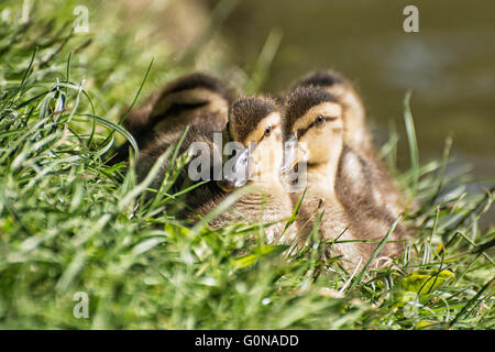 Group of Mallard ducklings – Anas platyrhynchos – resting in the green grass. Birds scene. Beauty in nature. Young - Stock Photo