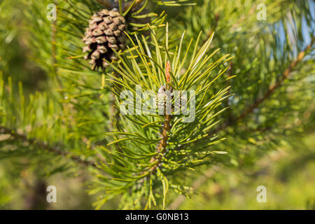 young cones on a pine tree - Stock Photo
