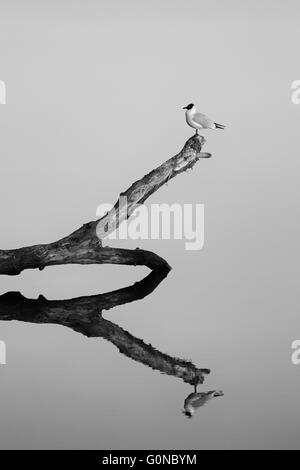 Bird on a branch in the river with reflection. Black and white. - Stock Photo