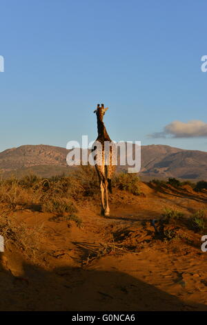 A Giraffe on the plains of South Africa at sunrise - Stock Photo