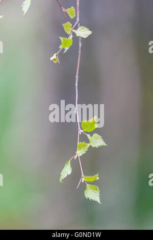 UK Weather: Thursday 28th April 2016 Silver Birch leaves at Speech House Woods and Worgreens lake - Stock Photo