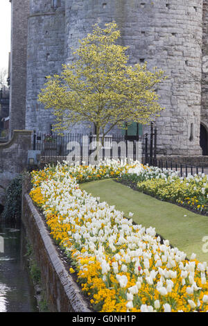 Tulips along the riverside walk with stone entrance, one of the original entrances to the city of Canterbury - Stock Photo