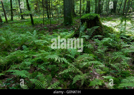 Ferns and old spruce tree stump moss wrapped in summertime forest,Bialowieza Forest,Poland,Europe - Stock Photo