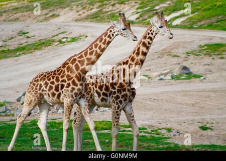 Two Juvenile Giraffes Roaming the Grasslands of the San Diego Wild Animal Park in Southern California - Stock Photo