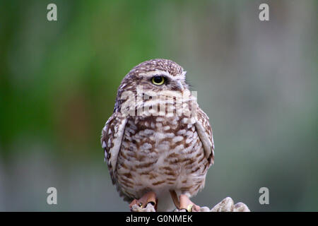 Burrowing Owl Perched on Hand - Stock Photo