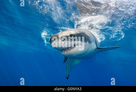 Great white shark underwater at Guadalupe Island, Mexico - Stock Photo