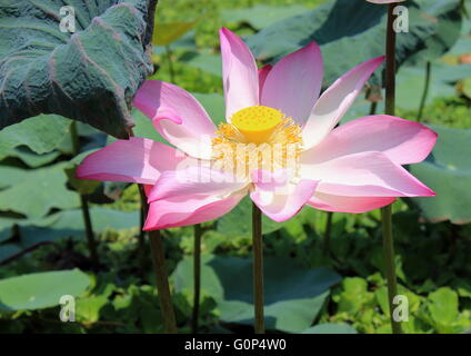 A single pink lotus, nelumbo nucifera, in a pond filled with invasive aquatic plants. - Stock Photo