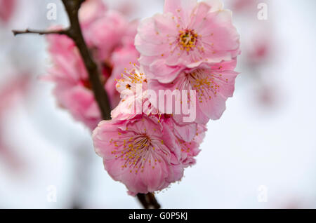Close up of Cherry Blossoms in a Japanese Garden, Tokyo, Japan - Stock Photo