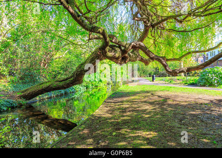 A weeping willow tree leaning over a canal and grassy tow path at New River Walk, Canonbury, London - Stock Photo