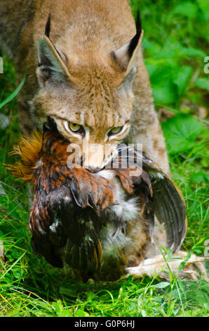 Eurasian lynx with a kill - Stock Photo