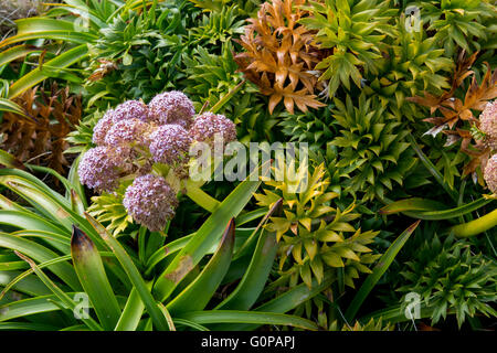 New Zealand, Auckland Islands, uninhabited archipelago in the south Pacific Ocean, Enderby Island. Megaherbs, pink - Stock Photo