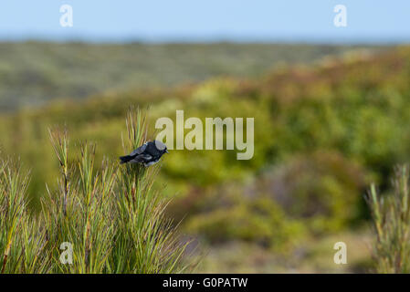 New Zealand, Auckland Islands, uninhabited archipelago in the south Pacific Ocean, Enderby Island. Australasian - Stock Photo