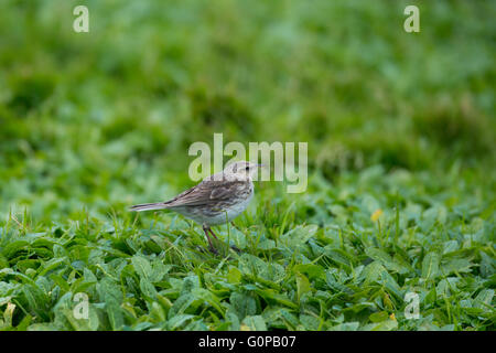 New Zealand, Auckland Islands, uninhabited archipelago in the south Pacific Ocean, Enderby Island. New Zealand pipit. - Stock Photo