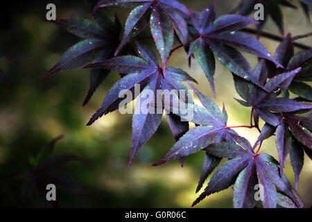 Japanese maple tree in purple color. Close-up shot,  depth-of-field with blur background. Could be easily used in - Stock Photo