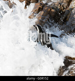 African penguin going for a swim at Betty's Bay in the Western Cape South Africa - Stock Photo