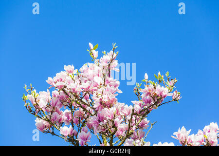 Branch of magnolia flowers blossoming in sunshine with blue sky in background. Copy place available for text. - Stock Photo