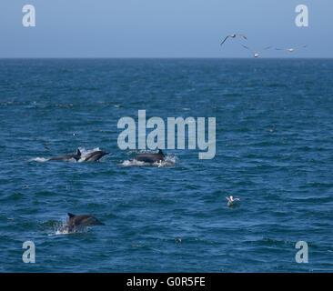 Wild Dolphins in Monterey Bay, CA - Stock Photo