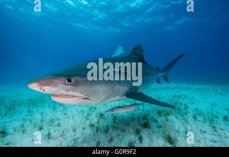 Tiger shark swimming in the Bahamas - Stock Photo