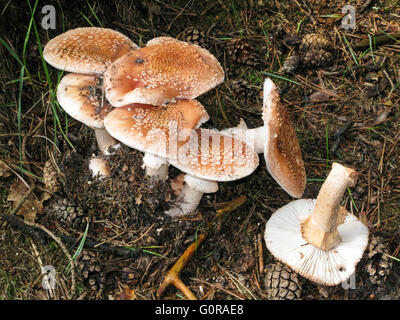Amanita fungi toadstool in the woodlands, Netherlands in autumn - Stock Photo