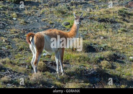 Guanaco (Lama guanicoe), Torres del Paine National Park, Chilean Patagonia, Chile - Stock Photo