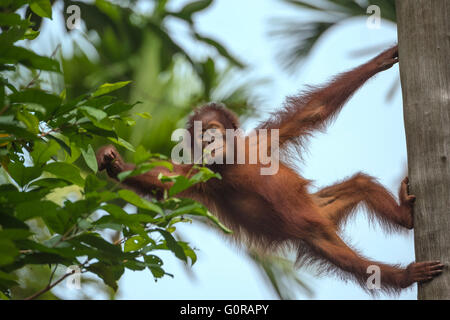 Juvenile Bornean Orangutan on a tree and feeding on leaves - Stock Photo