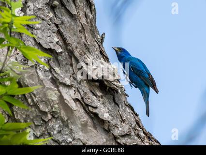 A Blue Bunting (Cyanocompsa parellina) hopping on a tree trunk. High Island, Texas, USA. - Stock Photo