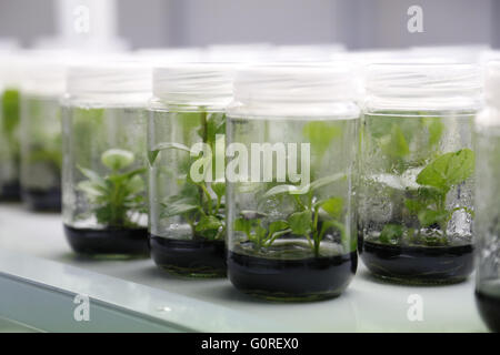 Experimental plants in glass jars in the lab. Growing plant specimens in the lab in sealed beakers for tests and - Stock Photo