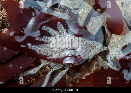 The common colonial Bryozoan Hairy Sea-mat on a red seaweed - Stock Photo