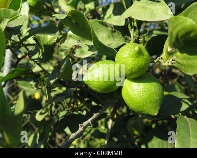 Details of three green Lemons with foliage on the tree - Stock Photo