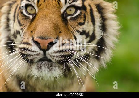 Sumatran Tiger (Panthera tigris sumatrae) taken under controlled conditions at Wildlife Heritage Foundation Smarden - Stock Photo