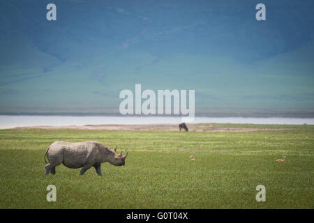 A wild Hook-lipped (Black) Rhinoceros in the Ngorongoro Crater Conservation Area of Tanzania in East Africa - Stock Photo