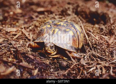 Female box turtle digging nest; laying eggs; SE Pennsylvania; USA - Stock Photo