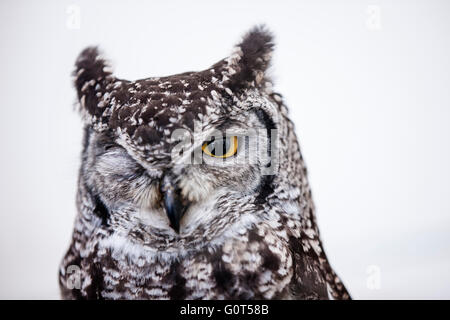 AfricanSpotted Eagle-owl(Bubo africanus) - Stock Photo