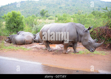 African White Rhinoceros crash enjoying the rain and lying in a mud pool - Stock Photo