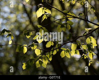 Sunlight shining through new young leaves on tree in spring - Stock Photo