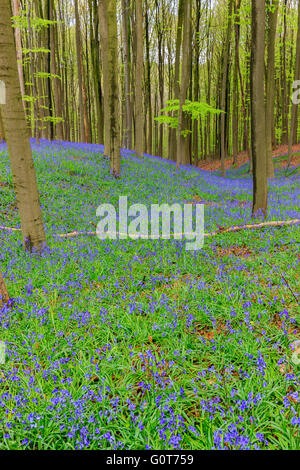 Wild hyacinths in the Hallerbos near Halle, Belgium - Stock Photo