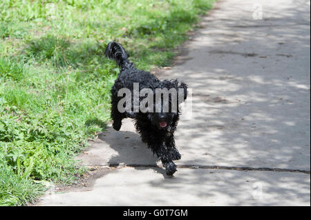 A young black Cockapoo dog on a walk in the woods on a sunny day. - Stock Photo