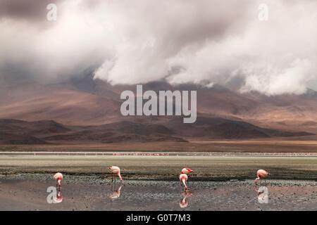 Flamingos feeding in a lake on Salar de Uyuni salt plains, Bolivia, south America - Stock Photo