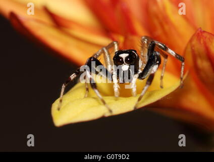 Black and white jumping spider standing on the edge of a yellow-orange chrystathemum petal. - Stock Photo