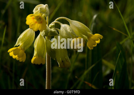 Common Cowslip - Primula veris. Image taken at Wilstone Reservoir, Hertfordshire, UK - Stock Photo