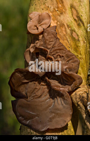 Jews Ear Fungus - Auricularia auricula-judae found at Wilstone Reservoir, Hertfordshire, UK - Stock Photo