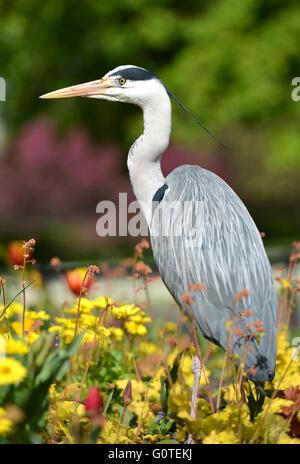 Heron, Regents Park, London - Stock Photo