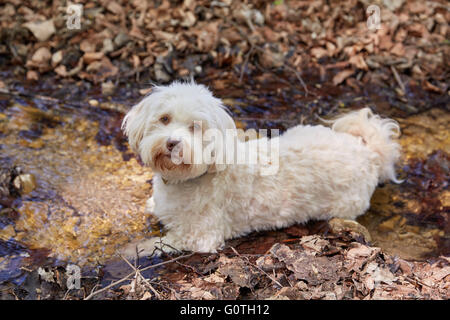 Havanese dog lying in the water in a little stream - Stock Photo