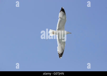 close view of a Yellow-legged seagull (Laridae family, sp. Larus michahellis) in flight under blue morning sky - Stock Photo